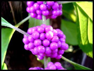 medium_Grappe_violette.jpg