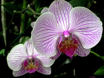 medium_Orchids_Front_Back.jpg