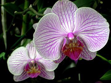 medium_Orchids_Front_Back.jpg