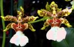 medium_Couple_Orchid.2.jpg