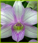 medium_My_Orchid.jpg